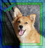 Copper Male Pomeranian (Full Price $375.00) Deposit