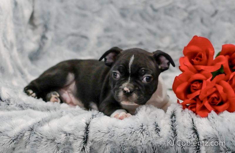 adorable puppies for sale