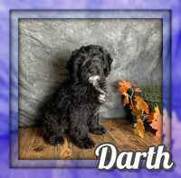 Darth Male Mini Goldendoodle $600