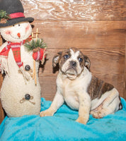 Lacy Female Beabull (Full Price $700.00) Deposit