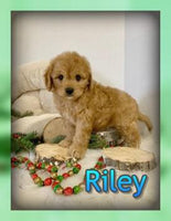 Riley Male Cavapoo $3000