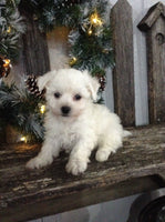 Bichon Puppies For Sale In Ohio That Doggy In The Window That