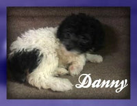 Shihpoo puppy for sale in Pittsburgh