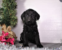 Derrick Male Labradoodle (Full Price $750) Deposit