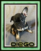 Diego Male AKC French Bulldog $4100