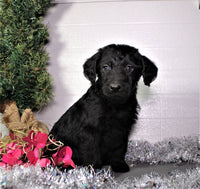 Max Male Labradoodle (Full Price $750) Deposit