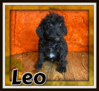 Leo Male Mini Schnoodle $1250