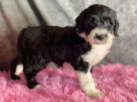 Missy Female Mini Sheepadoodle $3000