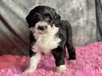mini sheepadoodle for sale near me