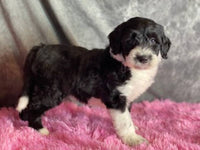 sheepadoodle puppies for sale near me