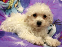 Doran: Male ACA Bichon (Full Price$399.00) Deposit