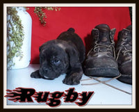 Rugby Male English Puggle $1775