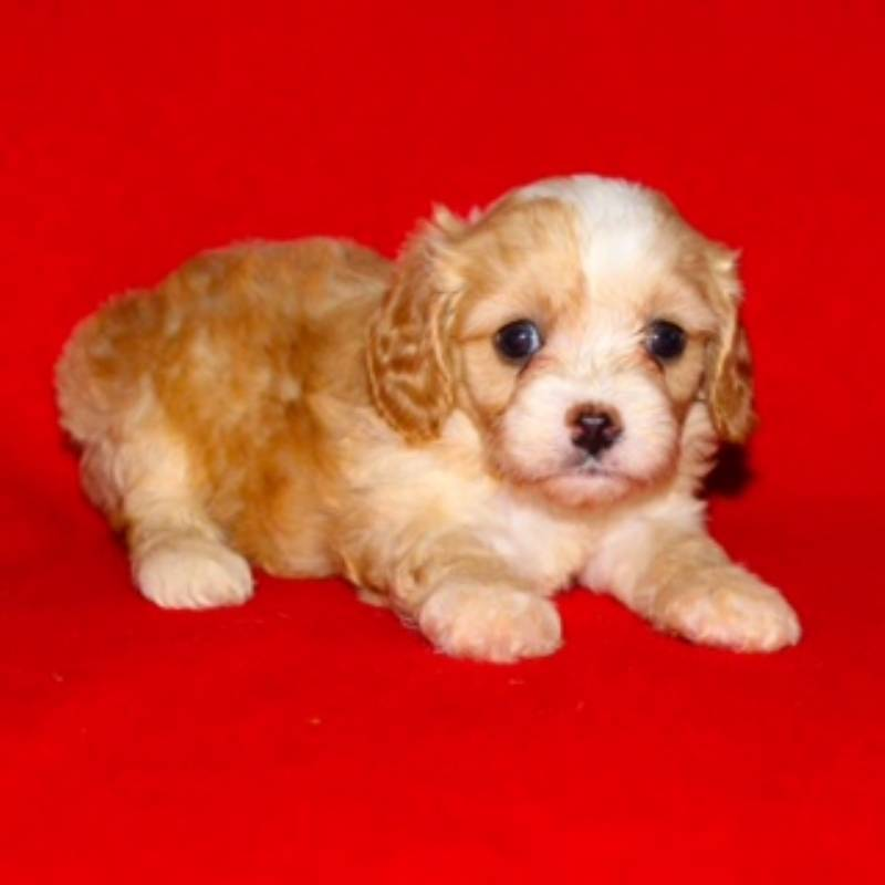 Mattie Female Cavapoo $799