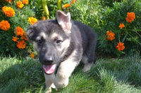 female German shepherd puppy