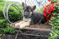 German Shepherd Husky mix puppies for sale near me columbus cleveland akron canton