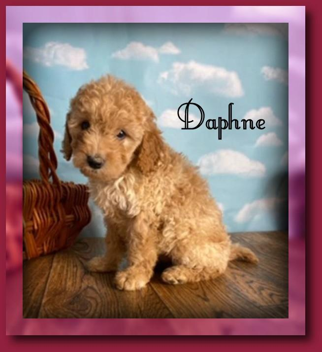 female mini goldendoodle