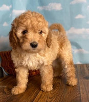 puppies for sale in pennsylvania