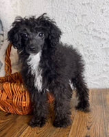 poodles for sale near me