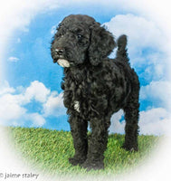 female standard poodle for sale near me