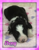 Ebony Female Aussiedoodle $1700