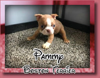 Pammy Female Boston Terrier $1200