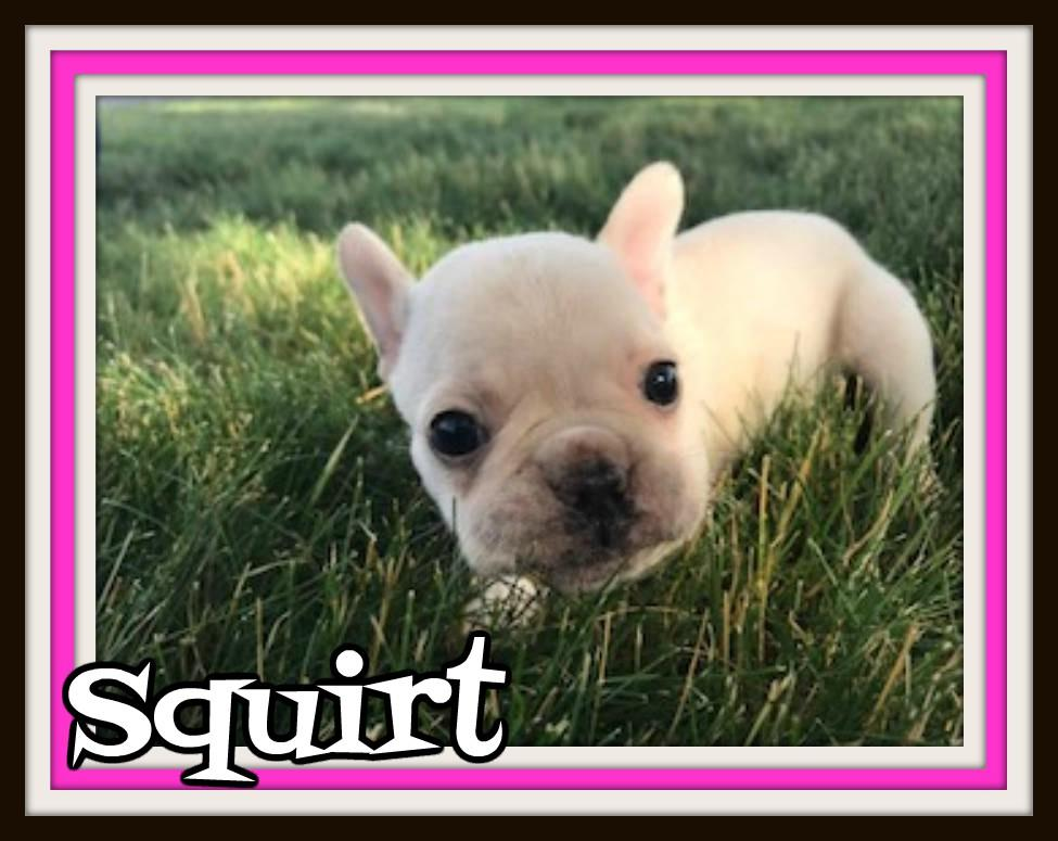 3/4 FRENCH BULLDOG 1/4 BOSTON TERRIER FOR SALE NEAR ME IN OHIO