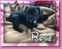 Rose Female Frenchton $1500