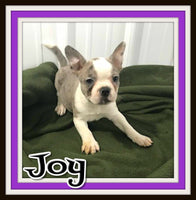 Joy Female Frenchton $1400