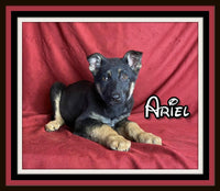 Ariel Female German Shepherd $700