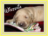 Wisteria Female AKC Golden Retriever $1650