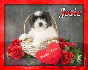 female shihtzu for sale
