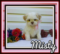 Misty Female ACA Shihtzu $1800
