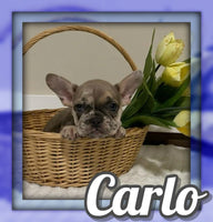 Carlo AKC Male French Bulldog $2900