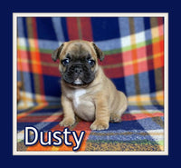 Dusty Male AKC French Bulldog $3500