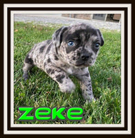 Zeke Male 3/4 Frenchton $2800