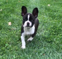 frenchton for sale near me
