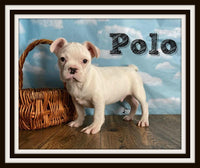 Polo Male AKC French Bulldog $2000