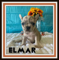 Elmar AKC Male French Bulldog $4600