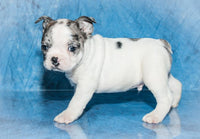 frenchton for sale ohio