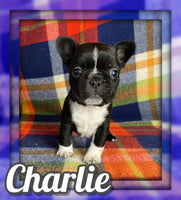 Charlie Male Frenchton $1400