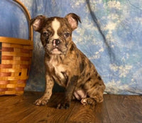 French Bulldog Puppy in ohio for sale
