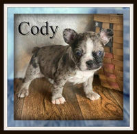 Cody Male 3/4 French Frenchton $3500