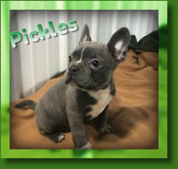 Pickles Male Frenchton $1400