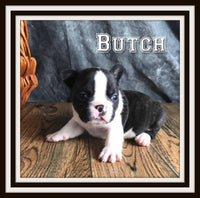 Butch Male 3/4 French Frenchton $2500