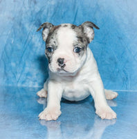 frenchton for sale