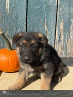 Starburst Female AKC German Shepherd $1200