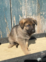 Twix Male AKC German Shepherd $1200