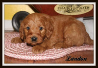 Landon Male Mini Labradoodle $900