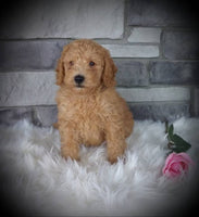 Mini Goldendoodle Puppy for sale near me