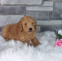 Mini goldendoodle ohio michigan indiana